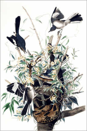 Póster Premium  Mockingbirds - John James Audubon