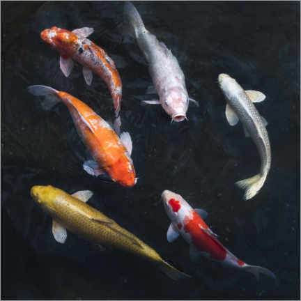 Quadro em PVC  Carpa koi colorida - Jan Christopher Becke