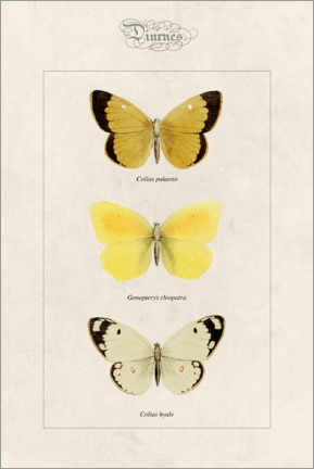 Póster Premium  Moorland clouded yellow, cleopatra and pale clouded yellow - Alexis Nicolas Noel