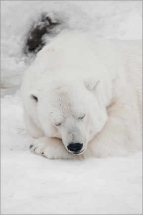 Póster Premium  Relaxed polar bear settled down to sleep - Mikhail Semenov