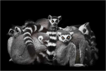 Póster Premium Ring-tailed lemurs sleep in a bunch