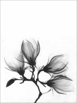 Quadro em acrílico  X-ray image of a magnolia - Wunderkammer Collection