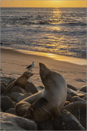 Póster Premium  Sea lions with the setting sun - Sheila Haddad