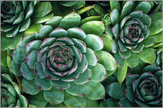 Autocolante decorativo  'Hens and chicks' succulents - Kaj R. Svensson