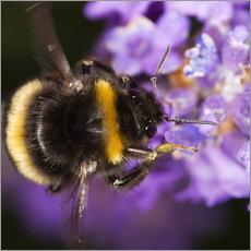 Autocolante decorativo  Bumble bee collecting pollen - Power and Syred