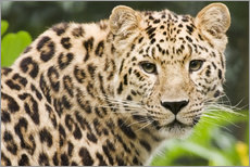 Autocolante decorativo  Amur leopard - Power and Syred