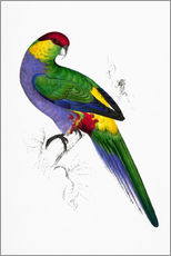Autocolante decorativo  Red capped Parakeet 1 - Edward Lear