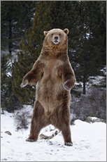 Autocolante decorativo  Grizzly Bear standing in the snow - James Hager