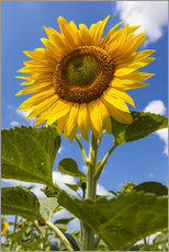 Autocolante decorativo sunflower