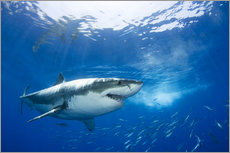 Autocolante decorativo  Great White Shark in front of Guadalupe - Dave Fleetham