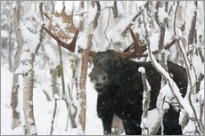Autocolante decorativo  Elk sniffing in a winter forest - Philippe Henry