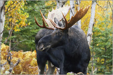 Autocolante decorativo  Moose in the Gaspesie National Park - Philippe Henry