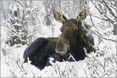 Autocolante decorativo  Cow elk in a winter forest - Philippe Henry