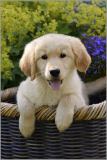Autocolante decorativo  Cute Golden Retriever Puppy - Katho Menden