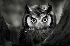 Autocolante decorativo  White-faced Owl perched in a tree - Johan Swanepoel
