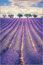 Autocolante decorativo  Lavender field with trees in Provence, France