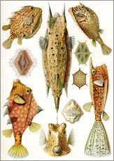 Autocolante decorativo  Ostraciontes cowfish species - Ernst Haeckel
