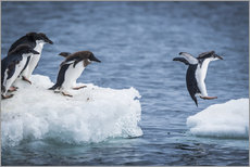 Autocolante decorativo  Adelie penguins between two ice floes - Nick Dale