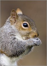Autocolante decorativo  Grey squirrel - John Devries