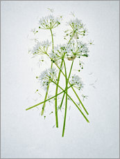 Autocolante decorativo  Allium ursinum, medicinal herb - Axel Killian