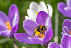 Autocolante decorativo  Spring flower crocus and bumble-bee - Remco Gielen