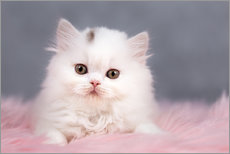 Autocolante decorativo British longhair cat baby in white