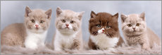 Autocolante decorativo British Shorthair kitten