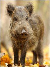 Póster Premium  A boar in the autumn