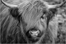 Quadro em alumínio  Highlander - Scottish Highland Cattle black and white - Martina Cross