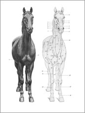 Póster Premium  Anatomia do cavalo - Wunderkammer Collection