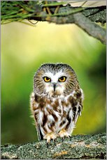 Autocolante decorativo  Northern saw-whet owl - Dave Welling