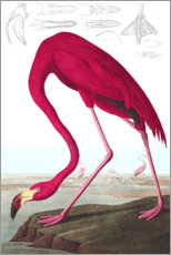 Autocolante decorativo  Flamingo das Caraíbas - John James Audubon