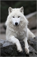 Autocolante decorativo  the wolf - WildlifePhotography