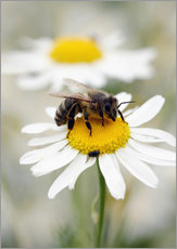 Autocolante decorativo  Bee on the camomile lawn - Falko Follert