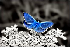 Autocolante decorativo  Blue butterfly on black colorkey II - Julia Delgado