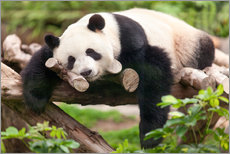 Autocolante decorativo  Giant panda sleeping - Jan Christopher Becke