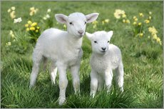 Autocolante decorativo  Easter lambs - Greg Cuddiford