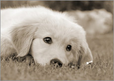 Autocolante decorativo  Golden Retriever cute puppy, monochrom - Katho Menden