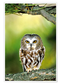 Póster Premium  Northern saw-whet owl - Dave Welling