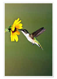 Póster Premium  Colibri Rubi-throated no girassol - Larry Ditto