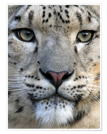 Póster Premium  snow leopard - Wolfgang Dufner