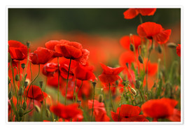 Póster Premium Red Poppy Flowers 14