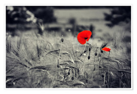 Póster Premium  Red poppies in a cornfield - Julia Delgado