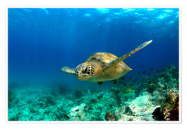 Póster Premium  Green sea turtle under water - Paul Kennedy