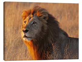 Quadro em tela  Lion in the evening light - Africa wildlife - wiw