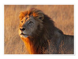Póster Premium  Lion in the evening light - Africa wildlife - wiw