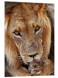 Quadro em PVC  View of the lion - Africa wildlife - wiw