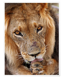Póster Premium  View of the lion - Africa wildlife - wiw