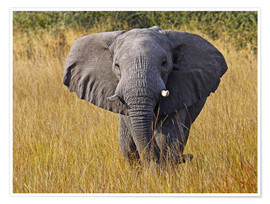 Póster Premium Elephant in the gras - Africa wildlife