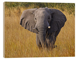 Quadro de madeira  Elephant in the gras - Africa wildlife - wiw